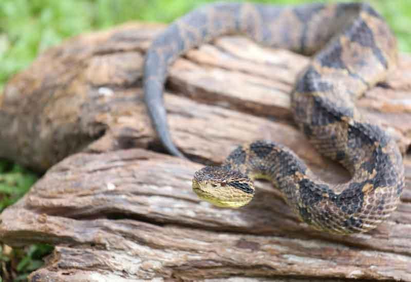 Serpientes más peligrosasde México