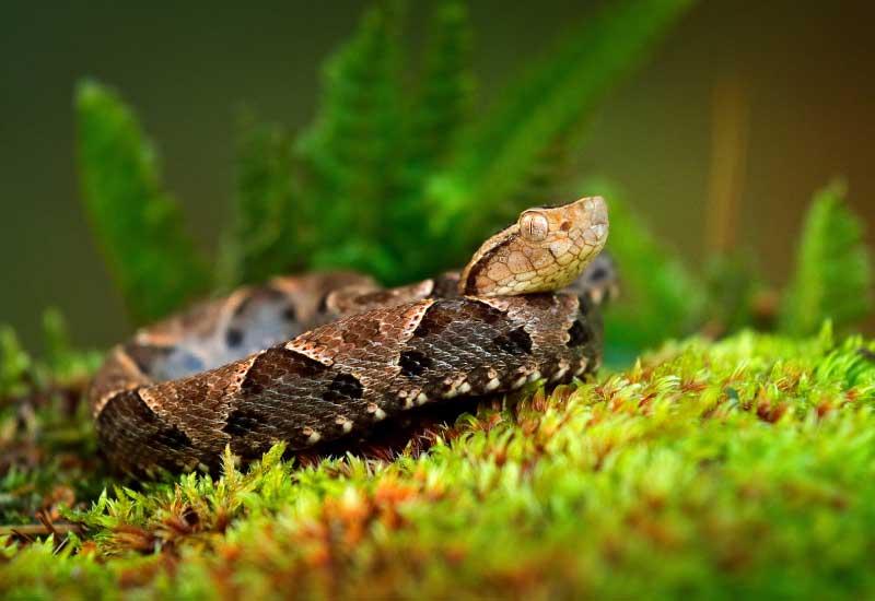 Serpiente Mapaná
