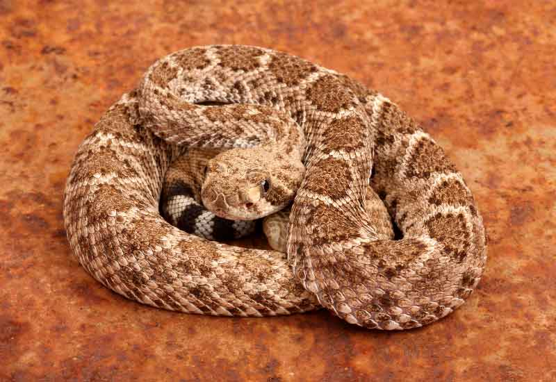 Las serpientes más venenosas de México