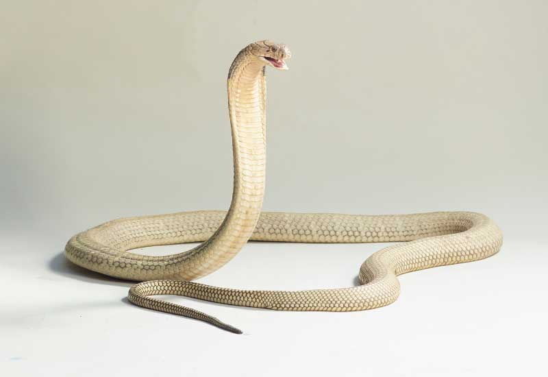 Serpientes más peligrosa de Asia