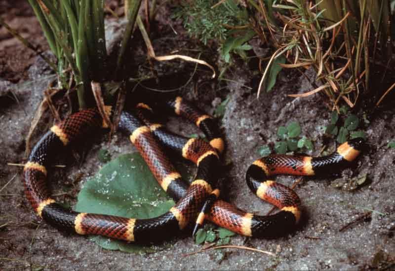 Serpientes más toxicas en América