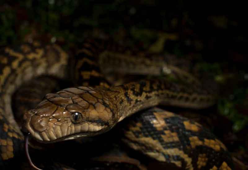 Lista de las serpientes más grandes