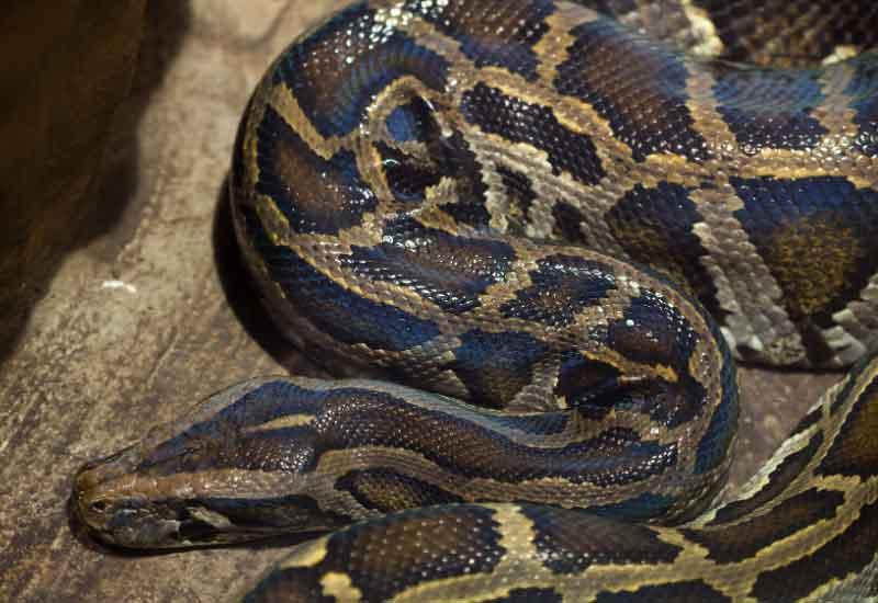 Serpientes grandes