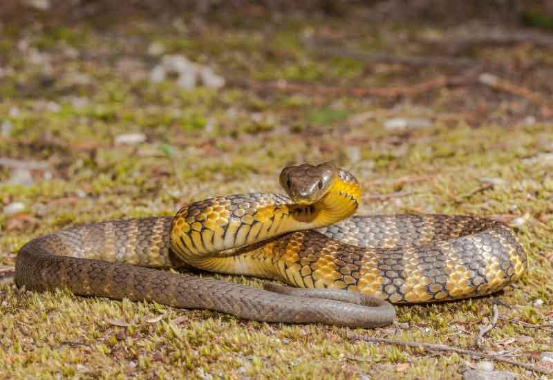 Serpientes venenosas en Australia