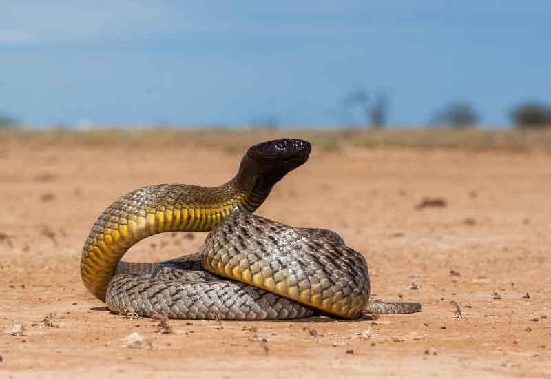 las serpientes más venenosas de Australia