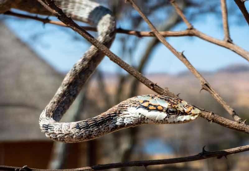 serpientes más venenosas en Sudáfrica