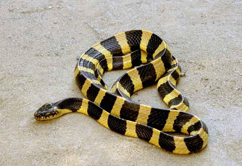 serpientes venenosas en china