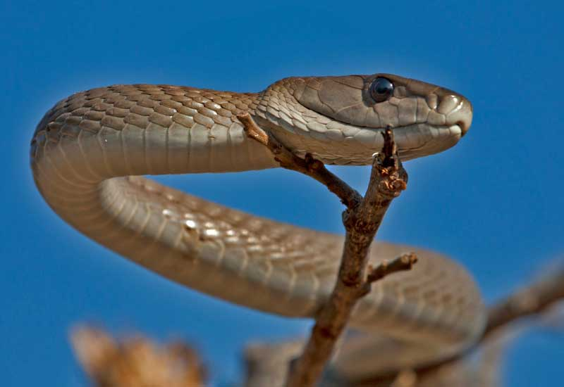 Las serpientes más venenosas de África
