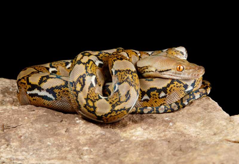 serpientes pitones