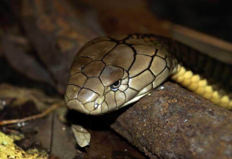 Serpientes mas peligros de Europa