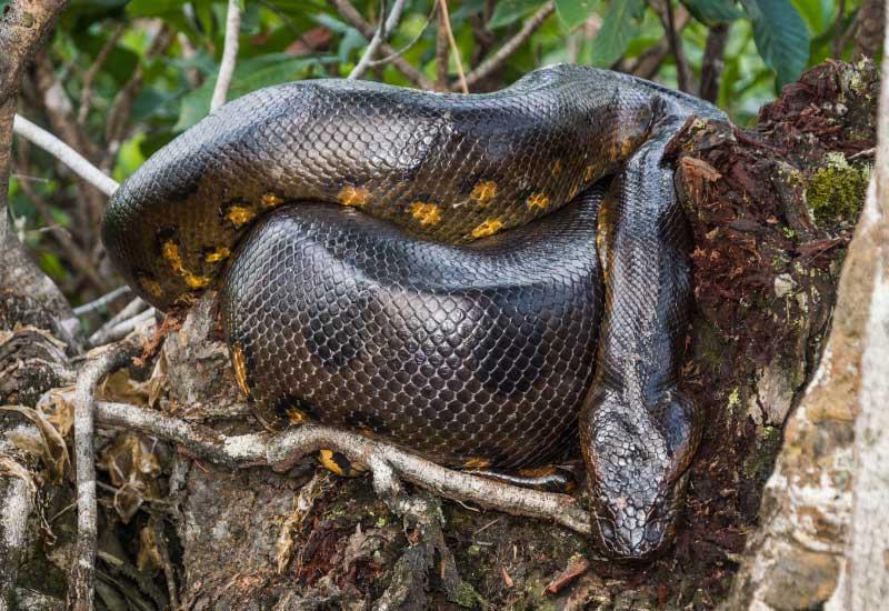 Serpientes boas