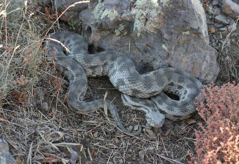 serpientes peligrosas en Rusia