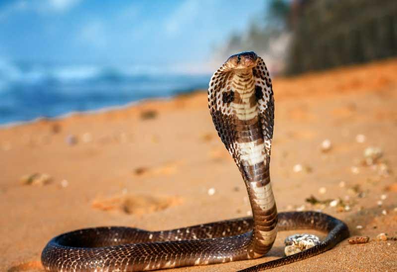 serpientes venenosas en India
