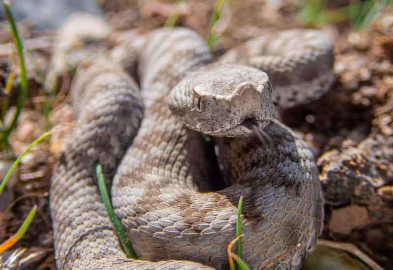 Serpientes Hocicuda