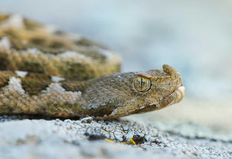 serpientes más venenosas en Europa
