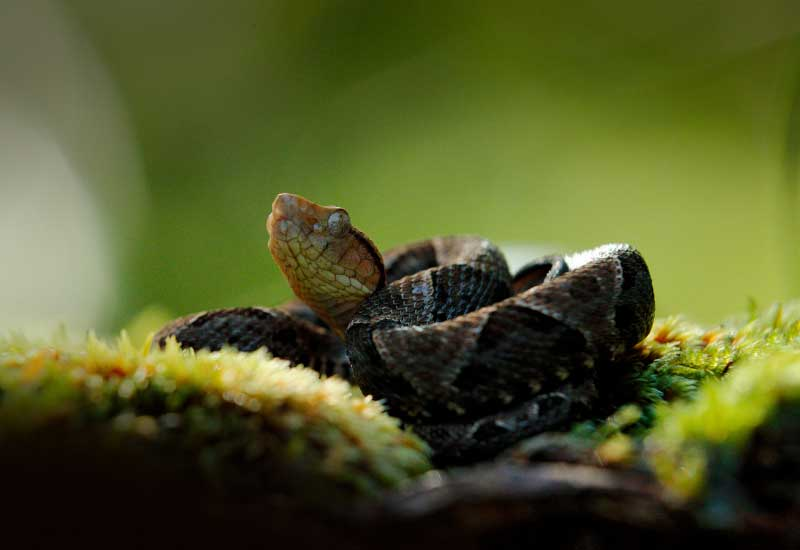 Serpiente Mapanare