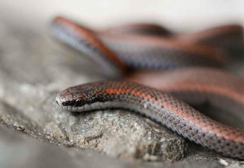 Serpientes en Chile