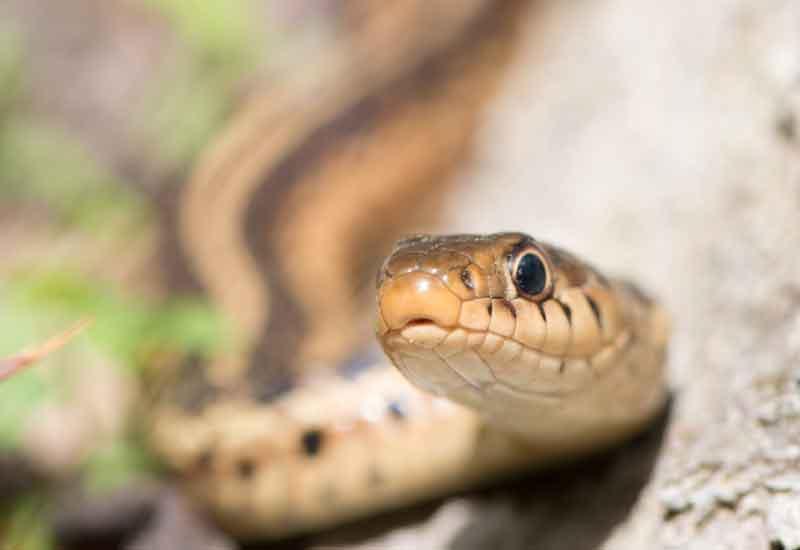 Serpientes Chilenas