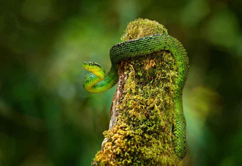 serpiente nauyaca verdinegra