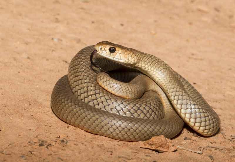 La tercera serpiente más venenosa