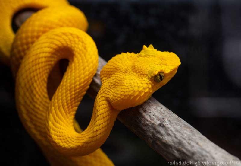 Serpiente Bocaracá