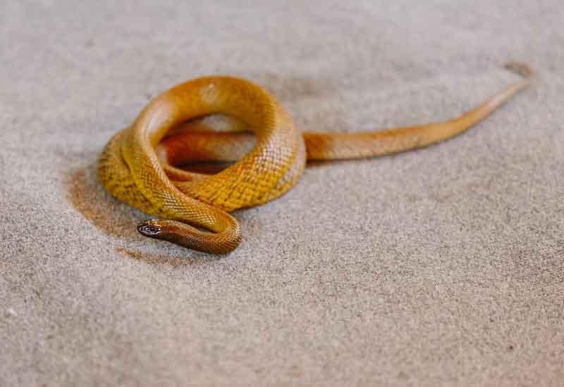 Serpientes Taipanes