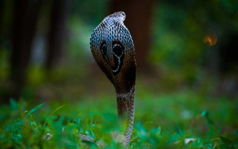 Serpientes Cobras