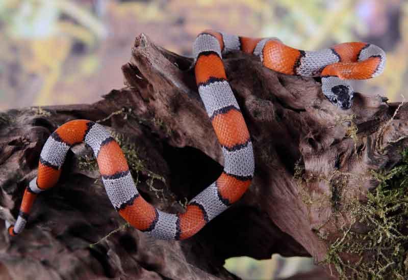 serpientes corales