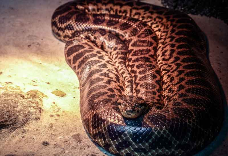 Anacondas verde