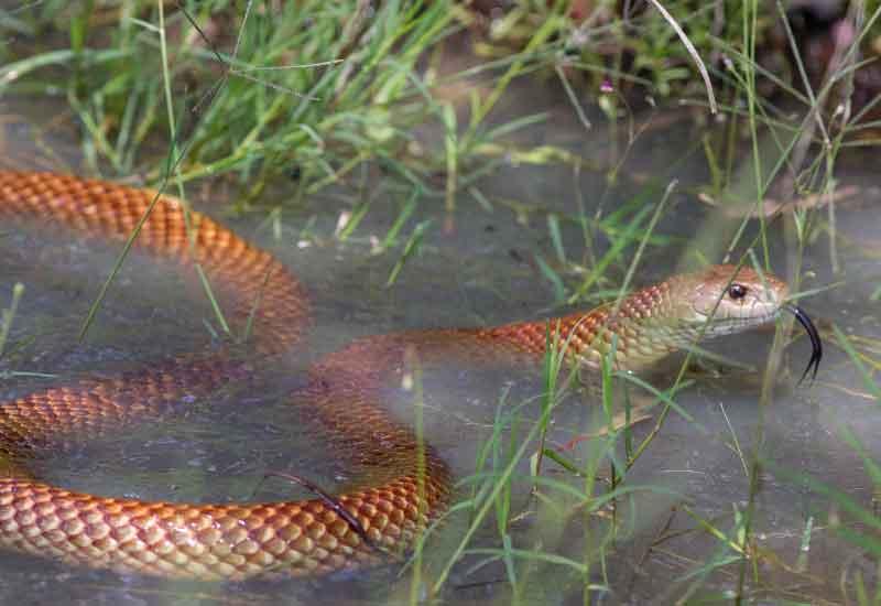Serpiente rey marrón
