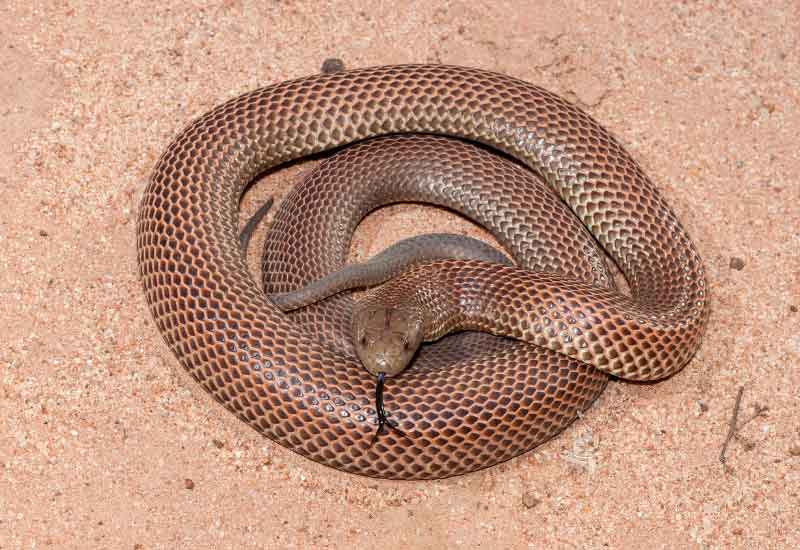 Serpiente Mulga