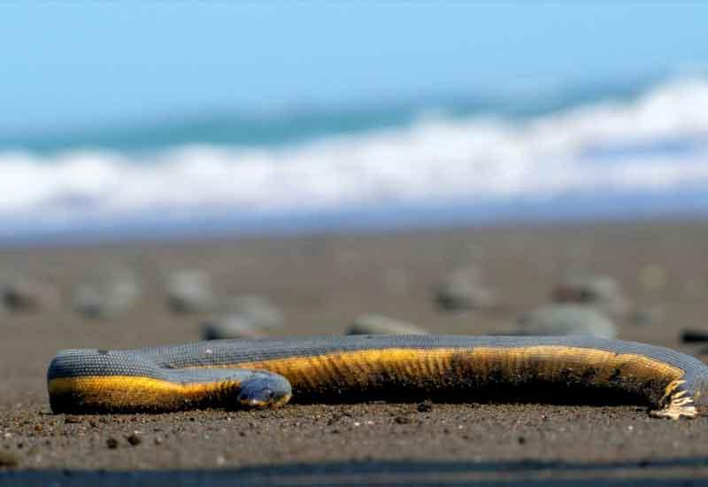 Serpiente Marina Amarilla