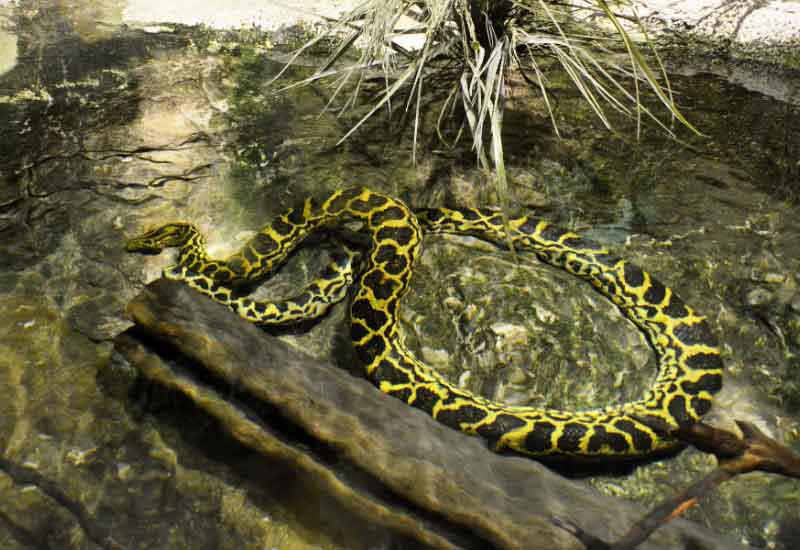 Anaconda amarilla