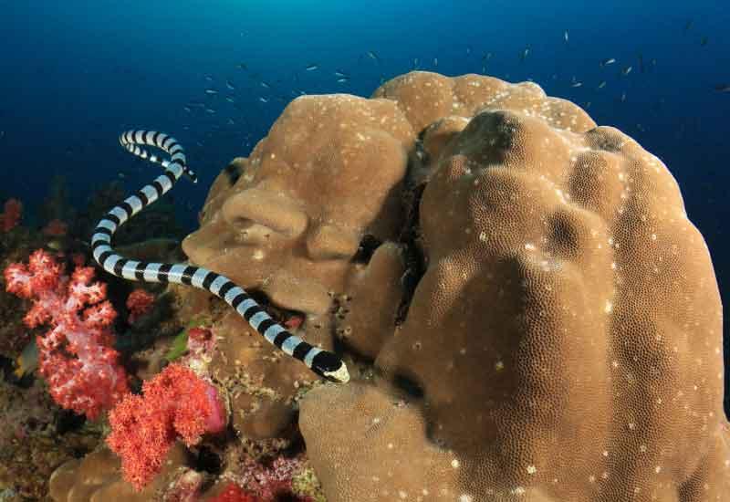 Serpiente de mar picuda