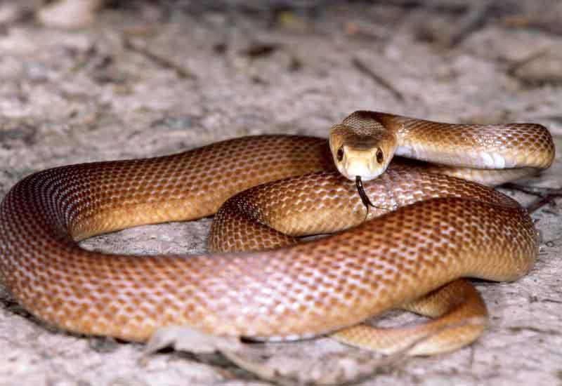 Serpiente feroz