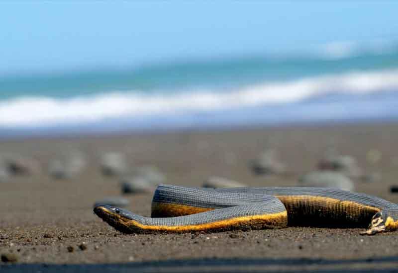 Serpiente marina de vientre amarillo