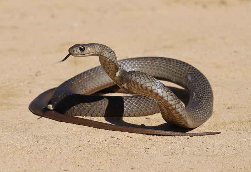 Serpiente marrón común