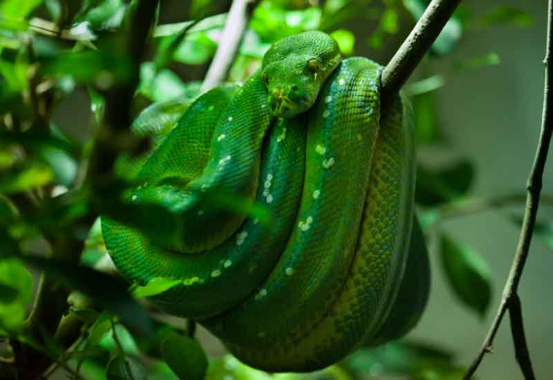 pitón arborícola verde
