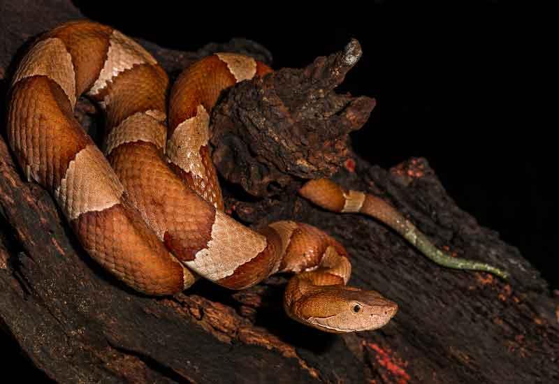 Serpiente Cabeza de Cobre