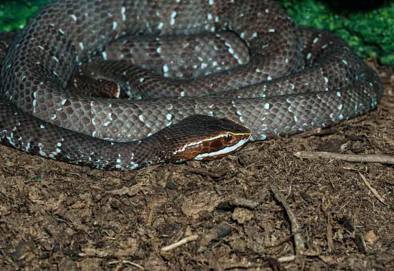 Serpiente Cantil