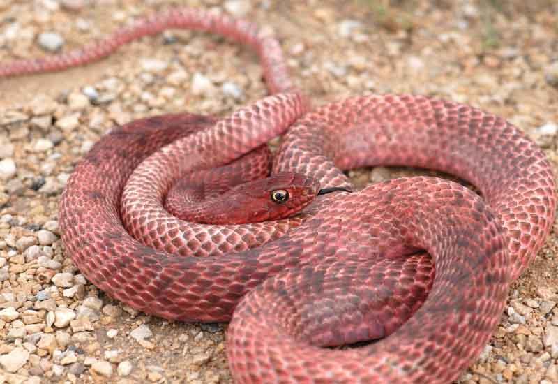 Serpiente Chirrionera