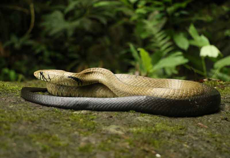 Serpiente Tilcuate