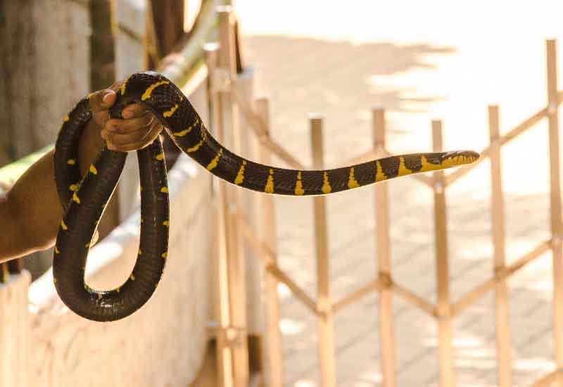 Serpientes krait
