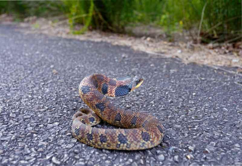 serpiente hocico de puerco