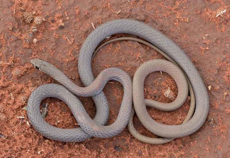 serpiente látigo