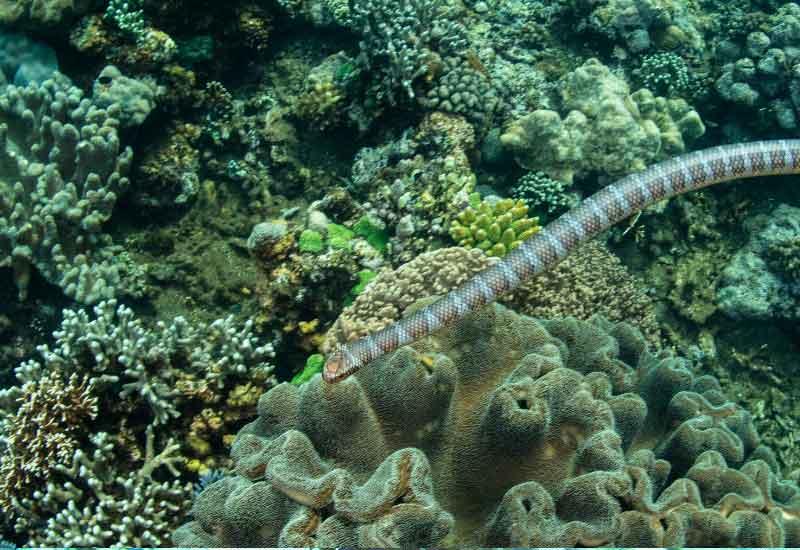 Krait marino