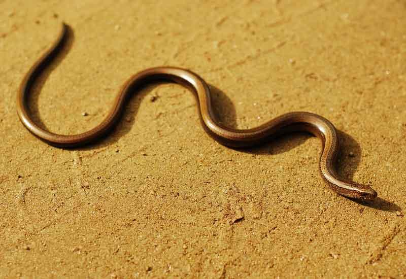 Serpiente Hilo