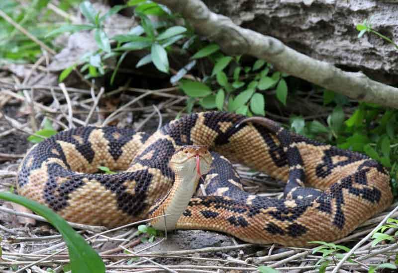 Serpiente Verrugosa