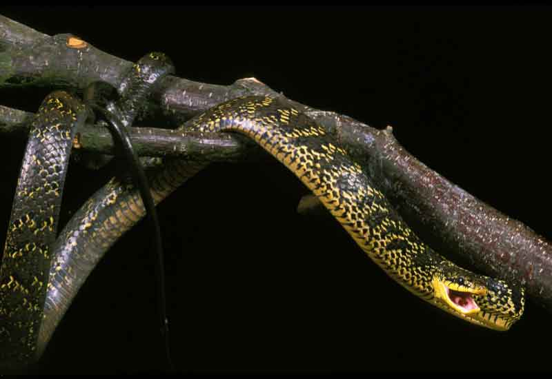 Serpientes Toche