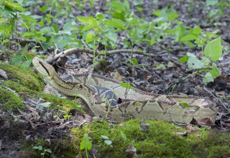 Serpientes Verrugosas